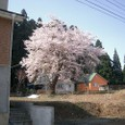 上水道配水池の桜