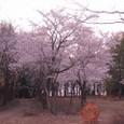 ライオンズの森入り口の桜