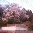 S邸跡の桜