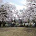 招魂社の桜
