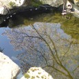 池に映った桜