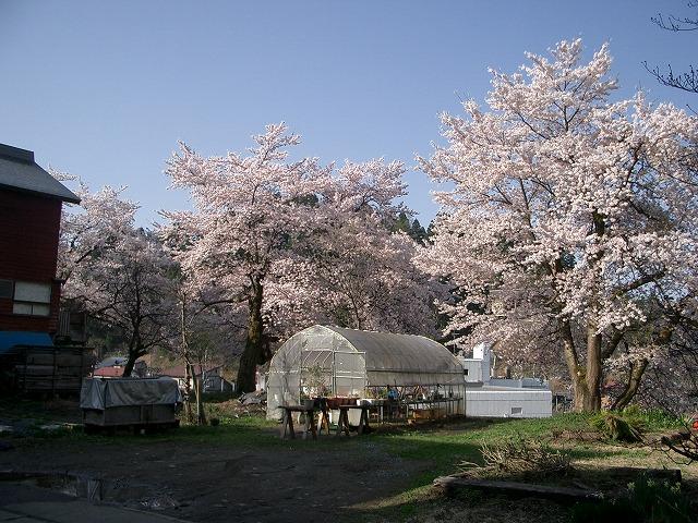 我が家の桜 東側から
