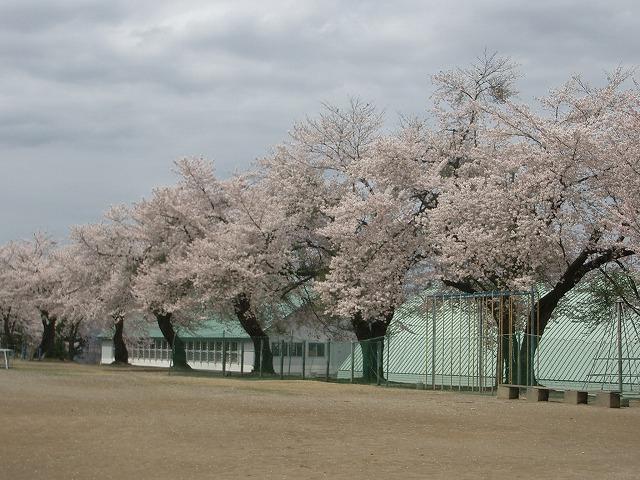 小学校グランドの桜