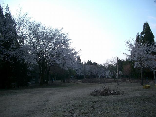 ライオンズの森・中ほどの桜
