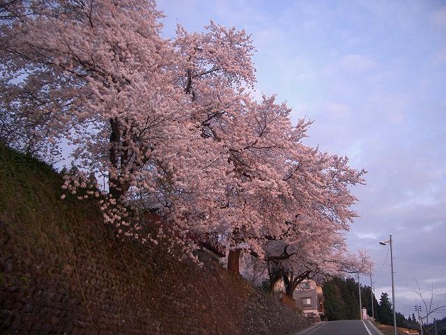 夕日に映える桜