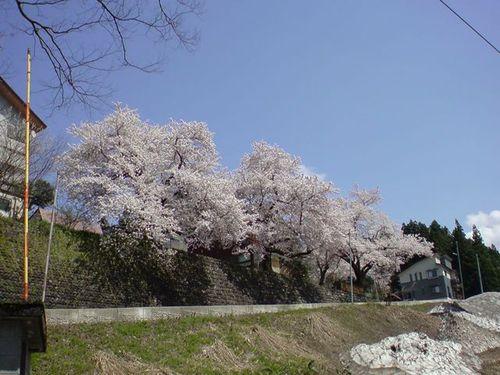 体育館裏からみた桜