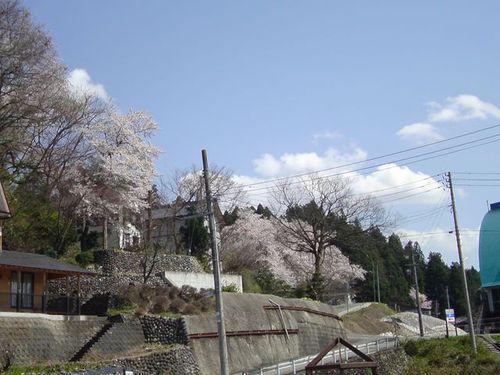 体育館坂の桜