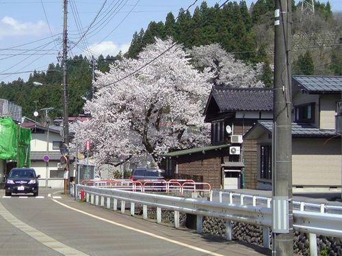 晒川河畔:酢屋の桜