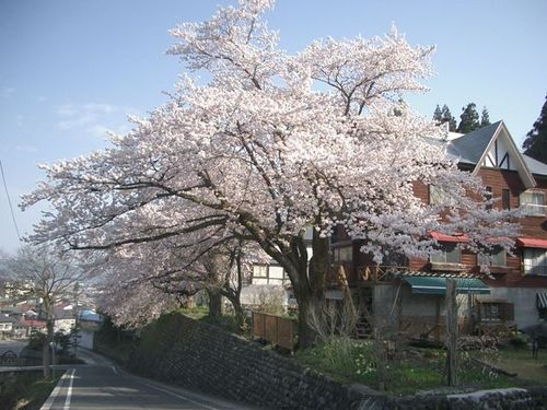 我が家の一番桜